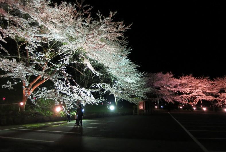 佐渡金山桜並木ライトアップ