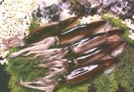 スルメイカ