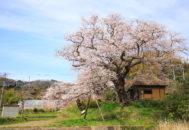 法乗坊の種蒔き桜01