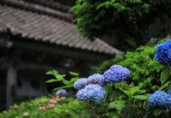 アジサイ 蓮華峰寺05