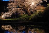 法乗坊の種蒔き桜03